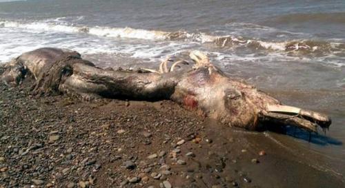 """Wurde ein """"Seemonster"""" in Russland angespült? (Bild: SakhalinMedia / The Siberian Times)"""