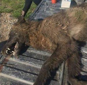"""Der Kadaver der """"Bestie von Montana"""" (Bild: FWP)"""