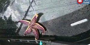 Tierregen in China: Es regnete Seesterne, Schnecken und Garnelen vom Himmel (Bild: Screenshot Twitter)